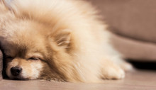 Pomeranian Puppy Is Sleeping