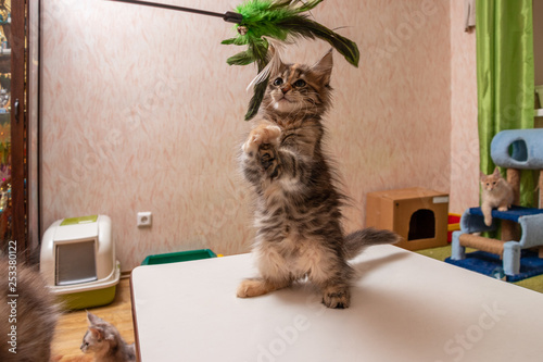 Fotografia, Obraz  Maine Coon kitten playing with a toy for cats