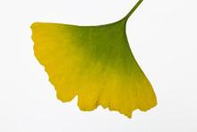Herbstliches Ginkgoblatt