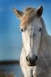 Portrait of white horse in Camargue, France near Les salines of Villeneuves Lès Maguelone, Montpellier, France