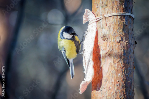 Fotografie, Obraz  hungry wild bird titmouse on a tree in spring forest