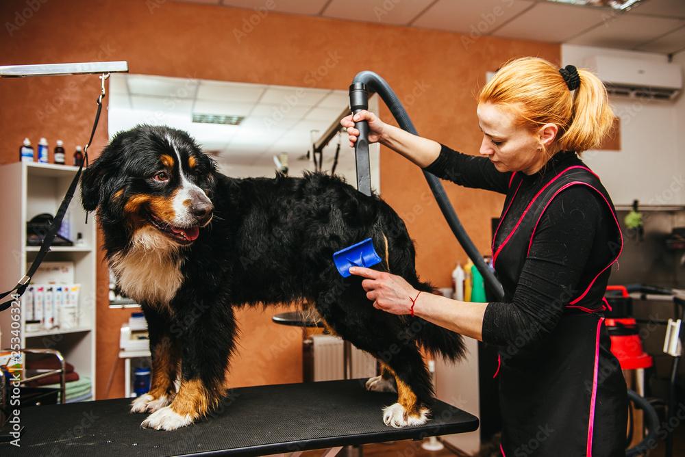 Fototapety, obrazy: Female groomer haircut makes dog breed Bernese Mountain