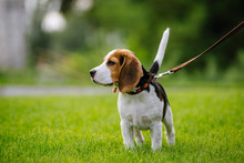 Dog On Green Meadow. Beagle Pu...