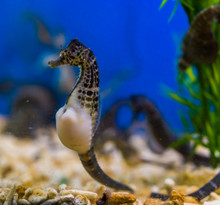 Beautiful Portrait Of A Big Belly Seahorse, Popular Pet In Aquaculture, Tropical Fish From The Rivers Of Australia
