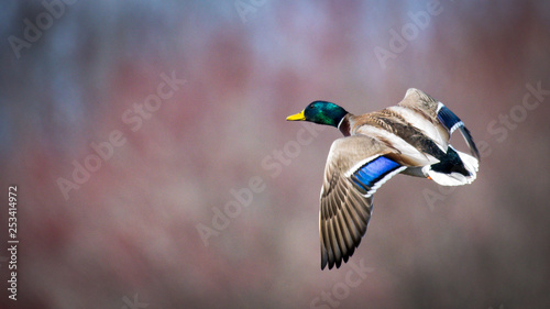 Mallard Male duck in flight Canvas-taulu