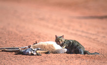 Feral Wild Cat Feeding On A Road Kill In The Outback Of Australia.