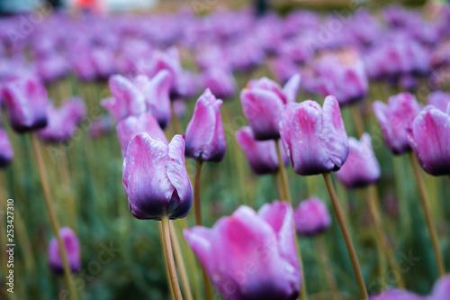 Photo  Close up shot of the purple tulip field on windmill island in Holland Michigan