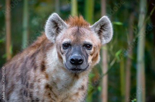 Canvas-taulu hyena face