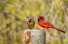 Northern Cardinal Bird Couple ...
