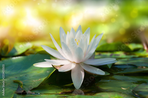 Poster de jardin Nénuphars Closse up of lotus, water lily flower with soft bokeh and sun light