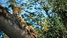 Big Five Jaguar Pantanal Brazil Safari Leopard Resting On Tree Wild Animal Watching