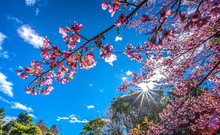 Sun Shining Through Cherry Blossom And Blue Sky In Garden, Blossoming Branch With Pink Sakura Flowers.