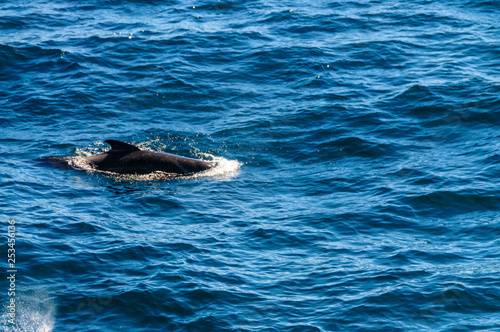 Photo  Long-Finned Pilot Whales in the Southern Atlantic Ocean