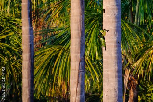 Fotografija  A couple of Red-bellied Macaw, Orthopsittaca Manilata, Lagoa das Araras, Bom Jar