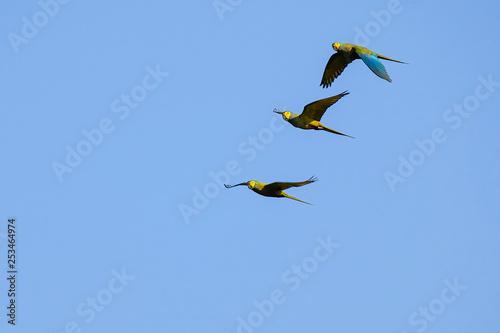 Fotografija  Flying Red-bellied Macaw, Orthopsittaca Manilata, Lagoa Das Araras, Bom Jardim,
