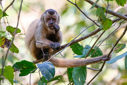 Fotografía  Azaras's Capuchin or Hooded Capuchin, Sapajus Cay, Simia Apella or Cebus Apella,