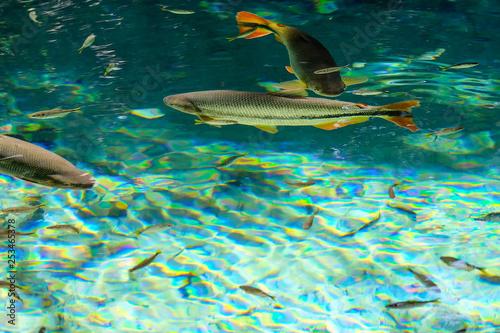 Fotografija  Brycon Hilarii, Piraputanga fishes in cristal clear water of the Salobra river,