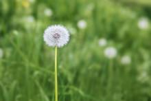 White Fluffy Dandelion Flower