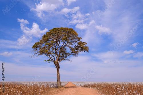 Fotografija  Tree in the middle of a cotton field in Campo Verde, Mato Grosso, Brazil