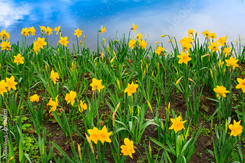 Spoed Foto op Canvas Groene background of yellow daffodil and blue sky reflection in water