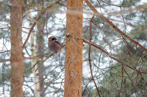Valokuva hungry wild bird mockingjay on a tree in spring forest