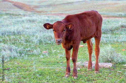 Photo  Newborn Calves in a Farm Shed