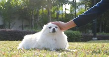 Pet Owner Touching On Her Pomeranian Dog In The Park