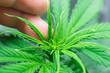 Leinwanddruck Bild - Macro shot. Planting cannabis. Home Grow legal Recreational Marijuana. Hemp flower Indoors growing. Cannabis grow operation. Marijuana business.
