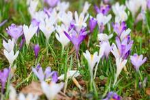 Crocus Flowers On Meadow In Spring
