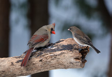 Cardinal And Dark-eyed Junco