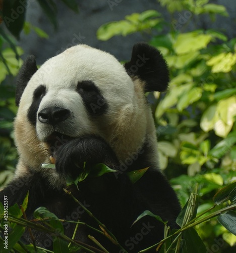Fotografija  Panda eats leaves