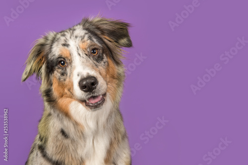 Portrait of a pretty australian shepherd dog on a purple background in a horizontal image with copy space - 253538962