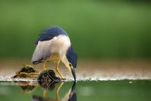 The Black-crowned Night Heron (Nycticorax Nycticorax) Watching For Fish In Shallow Water. Night Heron With Green Background.