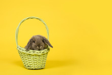 Cute Young Grey Rabbit In A Green Basket On A Yellow Background As A Concept For Easter Seen From The Front