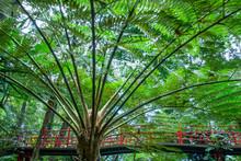 Tree Fern - Australian Tree Fern