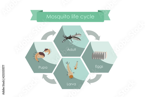 Fototapeta  Life cycle of mosquitoes from egg to adult