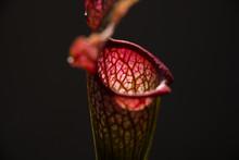 Sarracenia Leucophylla Flower ...