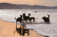 Dogs Playing On The Beach In A...