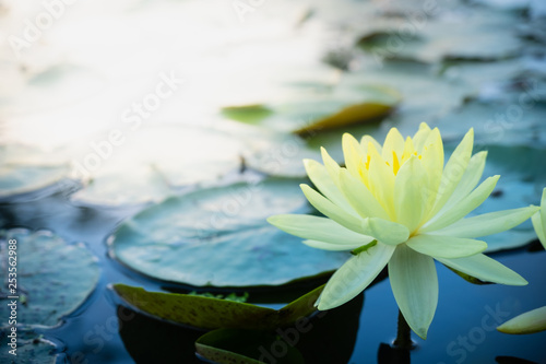 Poster de jardin Nénuphars Beautiful yellow of water lily or lotus with with reflections on surface of water in pond. Side view and peace concept.