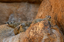 Common Rock Hyrax - Procavia Capensis, Small Mammal From African Hillls And Mountains, Namibia.