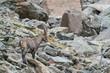 Wildlebender Alpensteinbock (Capa) in den Stubaier Alpen