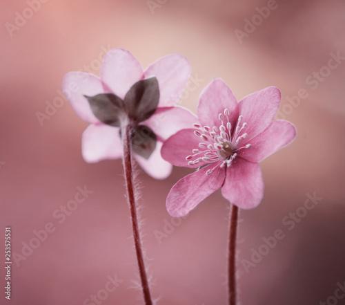Obraz Różowe przylaszczki - wiosenne kwiaty - fototapety do salonu