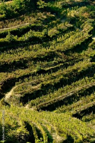 Photo  Shiacchetrà vineyard in the Cinque Terre