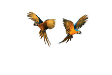Two Macaw Parrot Flying, White Background
