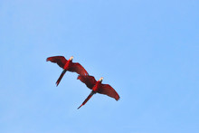 Two Macaw Parrots Fly Beautifu...