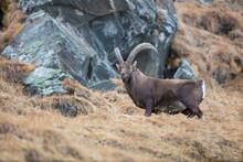 Alpensteinbock (capra Ibex) In Seinem Natürlichem Umfeld. In Den Stubaier Alpen Aufgenommen