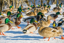 Ducks By The River On A Clear Sunny Day. Ducks Close Up. Ducks In The Snow