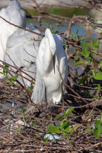 Great White Egret Standing Ove...