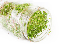 Fresh, Raw Red Clover Sprouts.