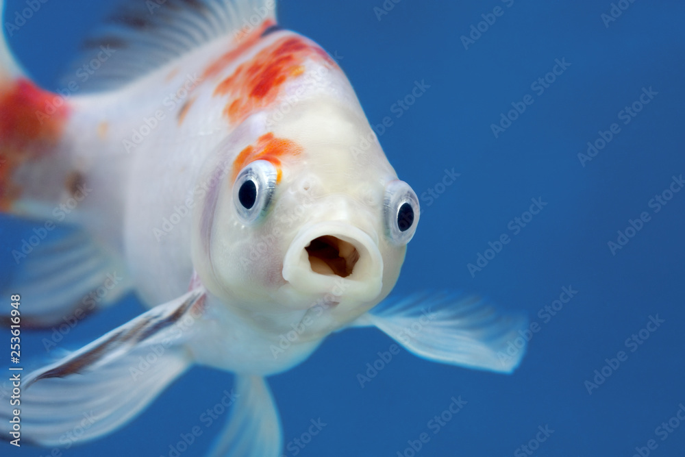 Fototapeta A fish with wide open mouth and big eyes, Surprised, shocked or amazed face front view